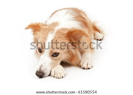 Tan and white Border Collie dog laying down and looking sad. Isolated on white.