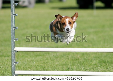 Tan and white terrier dog mid leap over an agility jump - stock photo