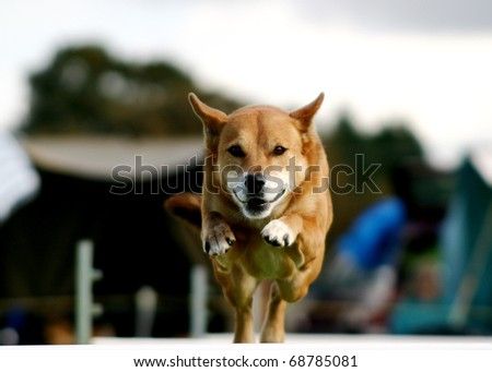 Tan dog coming over an agility jump - stock photo