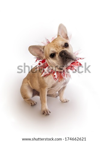 Tan French Bulldog sitting with red and white heart collar  isolated on white background