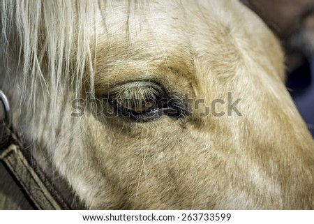 Tan hairs of a horse and the eye - stock photo