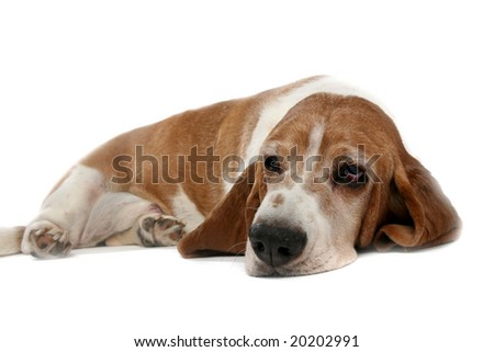 tan high key basset hound on it's stomach