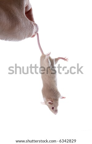 Tan mouse being held by the tail, isolated on white