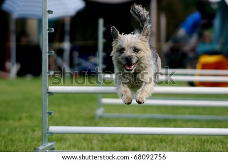 Tan scruffy terrier coming over an agility hurdle - stock photo