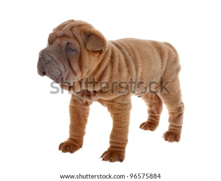 Tan Sharpei Puppy Isolated on White