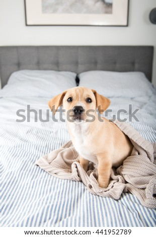 Tan Terrier Mix Puppy Sitting on Human Bed Waiting to Play - stock photo
