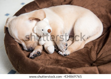 Tan Terrier Mix Puppy Sleeping in Bed with Favorite Toy - stock photo