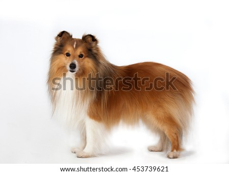 Tan / white Shetland Sheepdog stands on the floor on a white background - stock photo