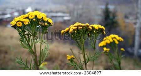 Tanacetum vulgare, also called batchelor's buttons.Perennial that grows wild over much of the United States. - stock photo