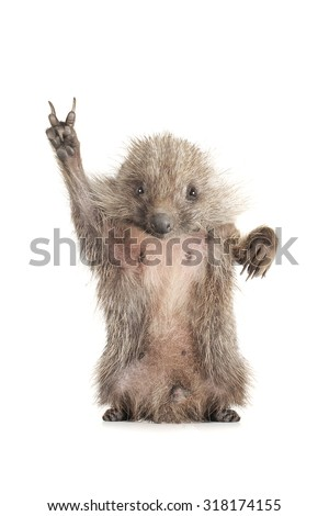 tanding hedgehog with a symbol of a victory of on a white background - stock photo