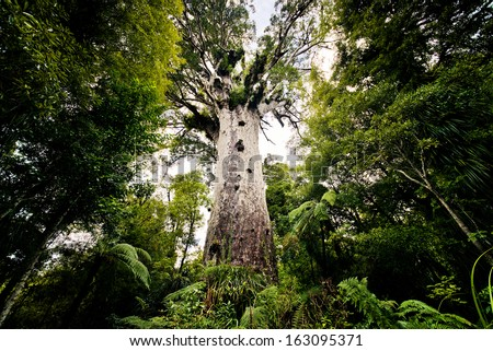 Tane Mahuta, big kauri tree, Waipoua forest, New Zealand  - stock photo