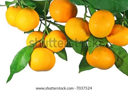 Tangerine fruit on a tree, isolated on white - stock photo