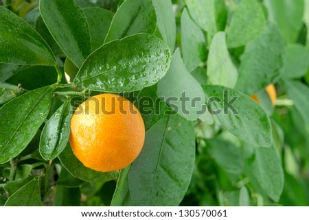 Tangerine on a citrus tree close up.
