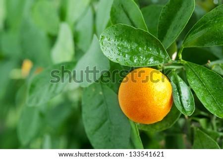 Tangerine on a citrus tree close up. - stock photo