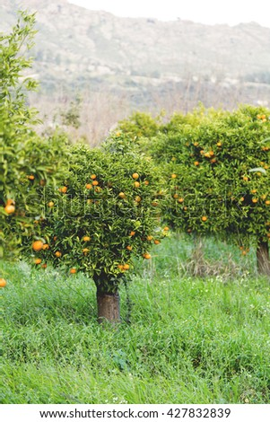 Tangerine orange garden - stock photo