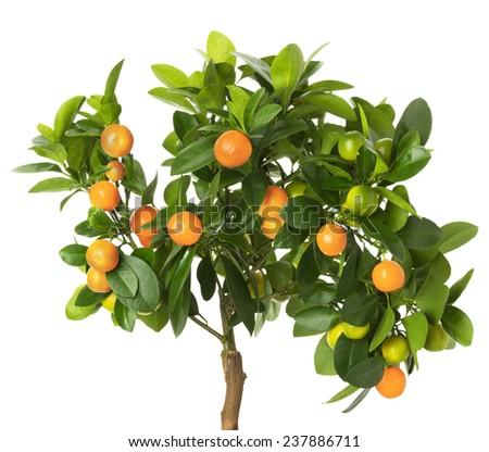 tangerine tree isolated on the white background - stock photo