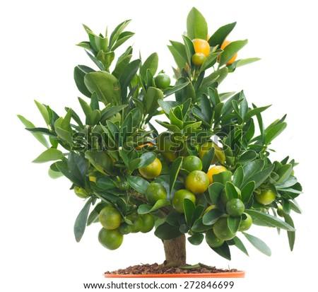 Tangerine tree with fruits   isolated on white background - stock photo