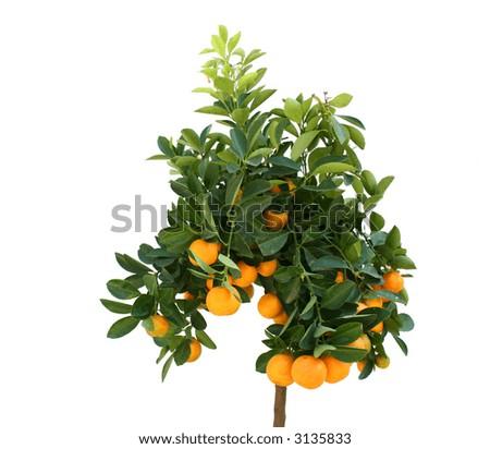 Tangerine tree with plenty of fruits isolated on white - stock photo