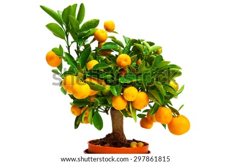 tangerines on a tree on a white background - stock photo