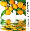 Tangerines on a tree with reflection in water - stock photo
