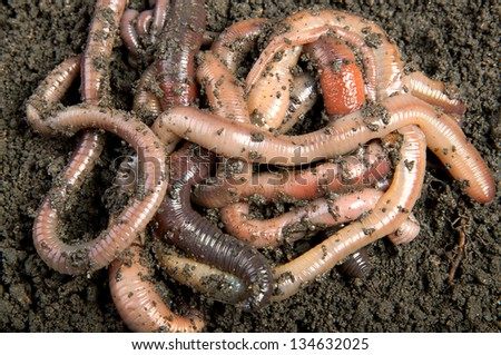 Tangle of earthworms - stock photo
