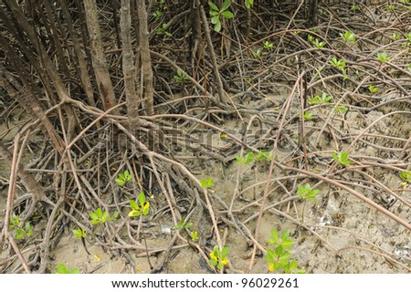 Tangled roots and leafy shoots of mangrove in the mud of tidal shoreline - stock photo