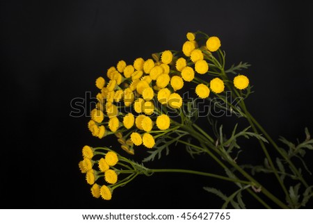 tansy on a black background - stock photo
