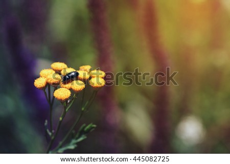 Tansy or Tanacetum vulgare also known as Bitter Buttons, Cow Bitter, Mugwort, or Golden Buttons - stock photo