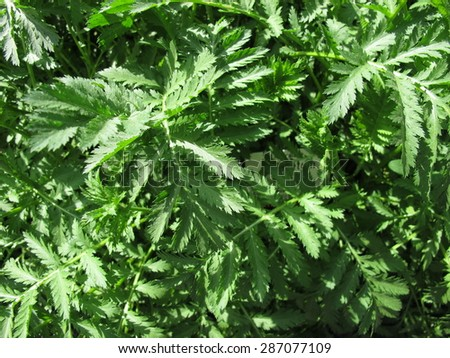 Tansy, Tanacetum vulgare - stock photo