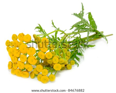 Tansy (Tanacetum Vulgare) Flowers Isolated on White Background - stock photo