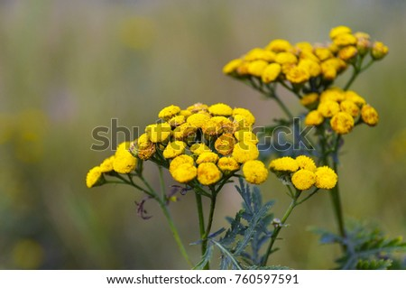 Tansy tanacetum vulgare yellow flowers medical herb stock photo tansy tanacetum vulgare yellow flowersdical herb tansyherbal medicinemedicinal mightylinksfo