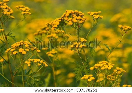Tansy (Tanacetum vulgare) yellow flowers with blurred meadow as a background  - stock photo