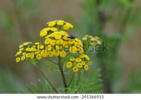 Tansy with fly and insect. - stock photo
