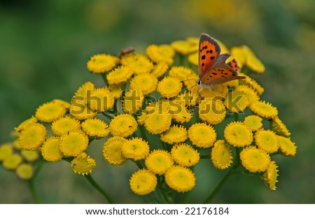 Tansy with small butterfly - stock photo