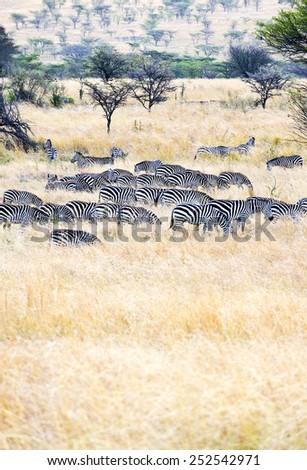 Tanzania, Serengeti National Park, Seronera area, zebras (equus burchellii) - stock photo
