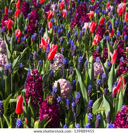 Tapestry of spring flowers - tulips, hyacinths and grape hyacinths in cool colors - stock photo