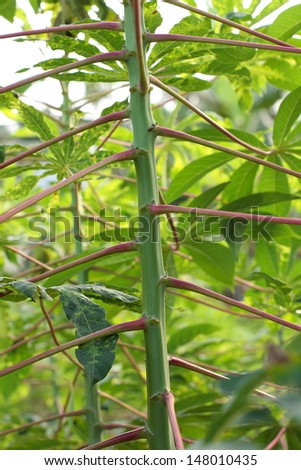 Tapioca Plants Cassava. closeup Useful as background for design-works.  - stock photo