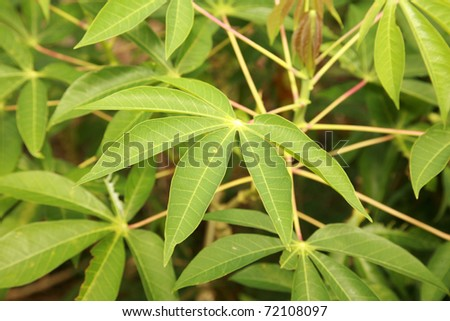 "Tapioca Plants ""Cassava"" or ""Manioc"" aka ""Mandioca"" growing on maui hawaii - stock photo"