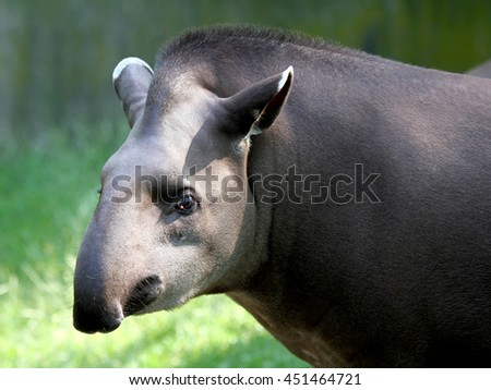 Tapir looking at the camera - stock photo