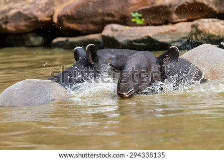 Tapir swimming in the river, in the woods. - stock photo