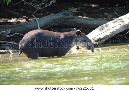 tapir, wild adult male in river , corcovado national park, costa rica, central america - stock photo