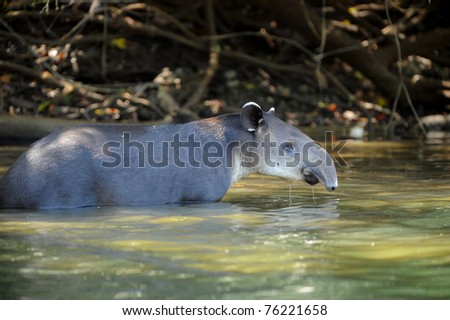 tapir, wild adult male in river, corcovado national park, costa rica, latin america. exotic looking mammal similar elephant horse in tropical lush jungle - stock photo