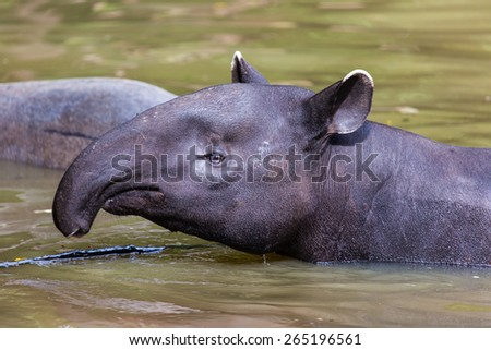 Tapirus indicus. - stock photo