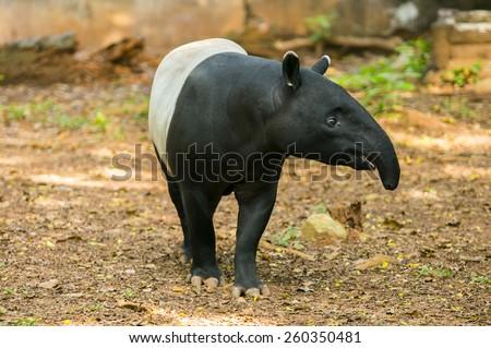 Tapirus indicus also call malayan tapir - stock photo
