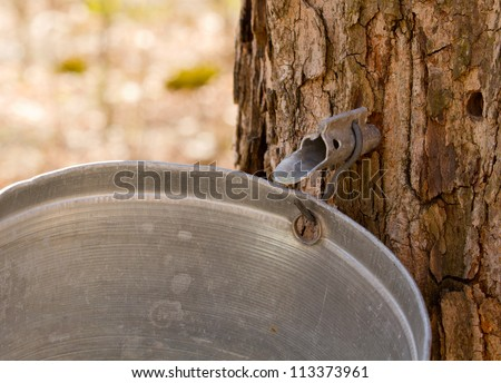 Tapping a Maple Tree for Syrup - stock photo