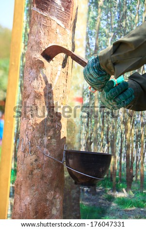 Tapping latex from a rubber tree - stock photo