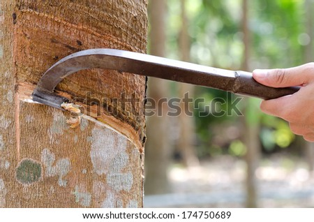 Tapping latex from a rubber tree in thailand. - stock photo