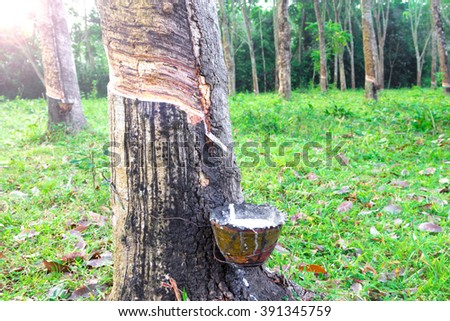 Tapping latex from a rubber tree, Thailand.