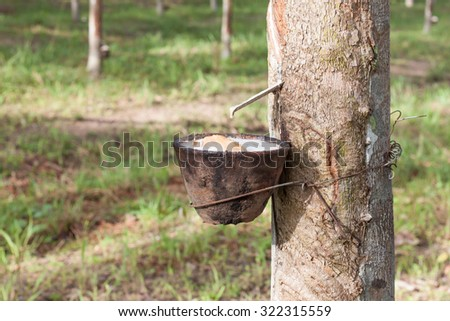 Tapping latex from rubber tree - stock photo