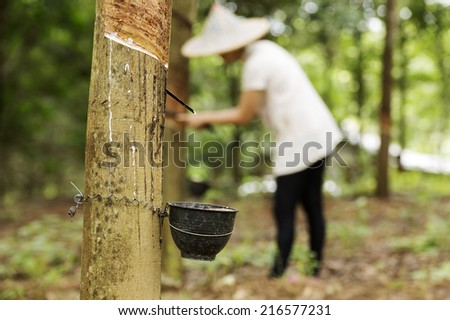 tapping latex from the rubber tree Woman worker background - stock photo
